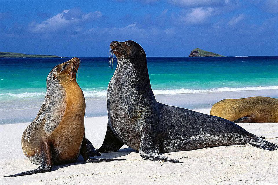 Espanola Island, Galapagos Islands. Galapagos sea lions are a subspecies of the Californian sea lion.