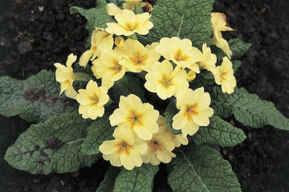 Close-up of yellow Primroses