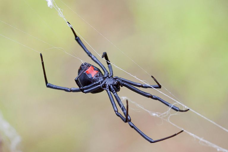 Many black widow spiders can be recognized by a red hourglass marking.