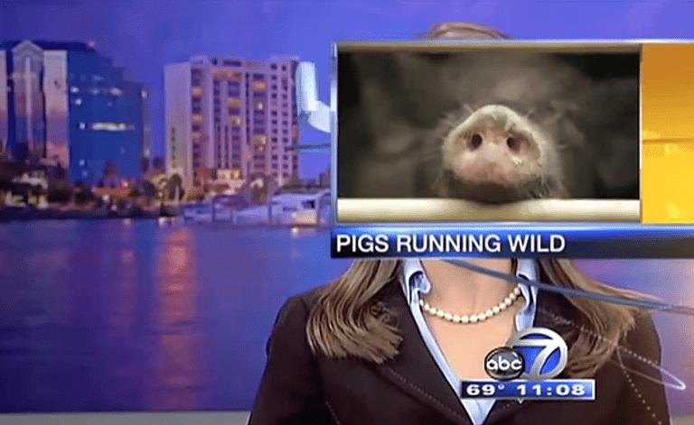 pig nose news blooper