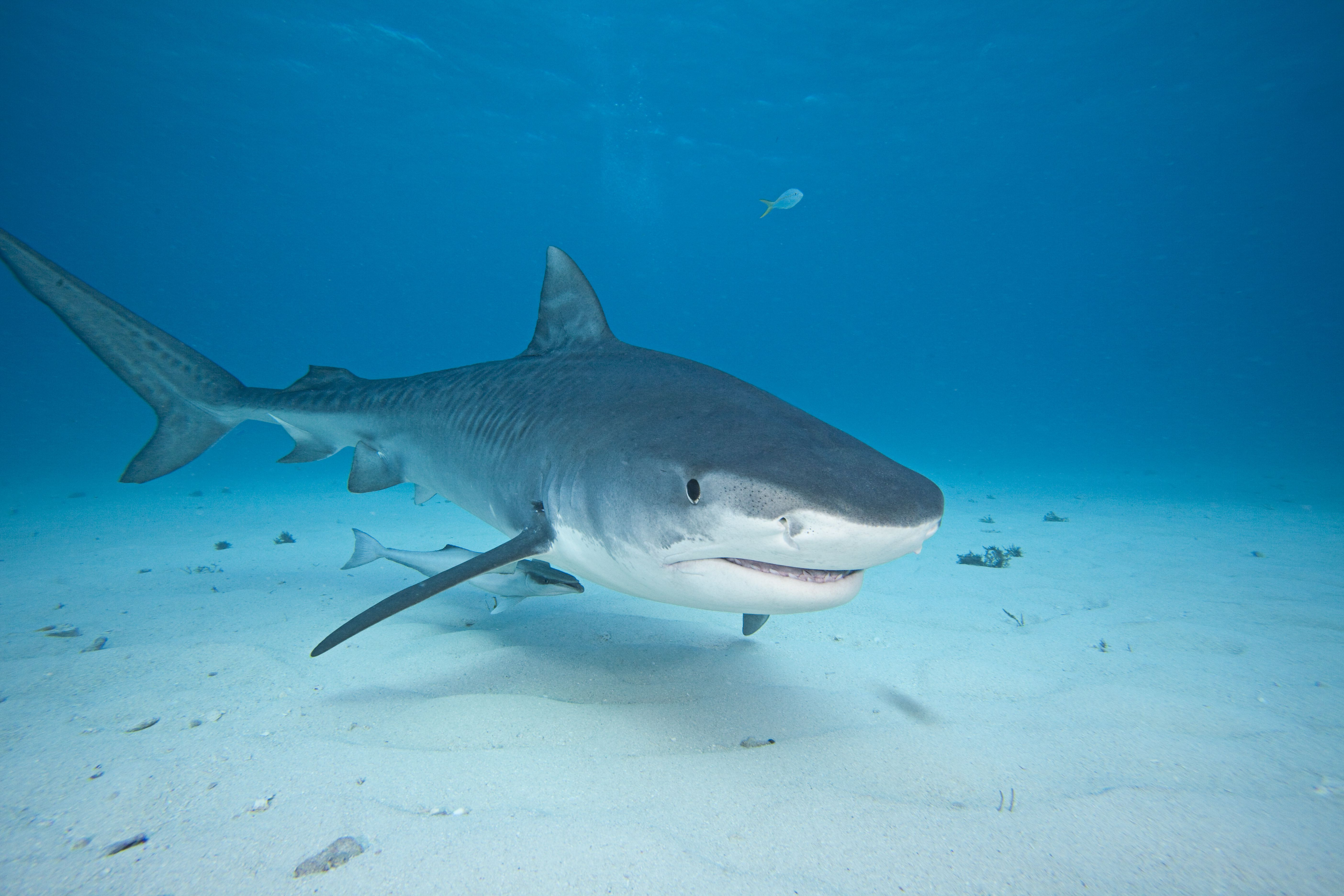 top 3 sharks that attack humans
