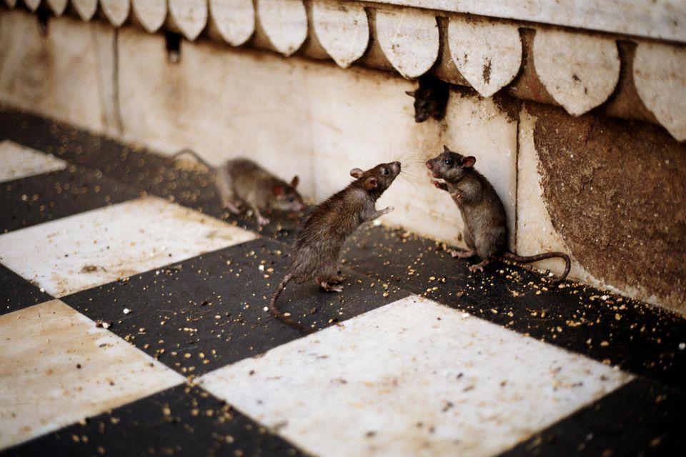 BLACK RAT PLAGUE (RATTUS RATTUS)
