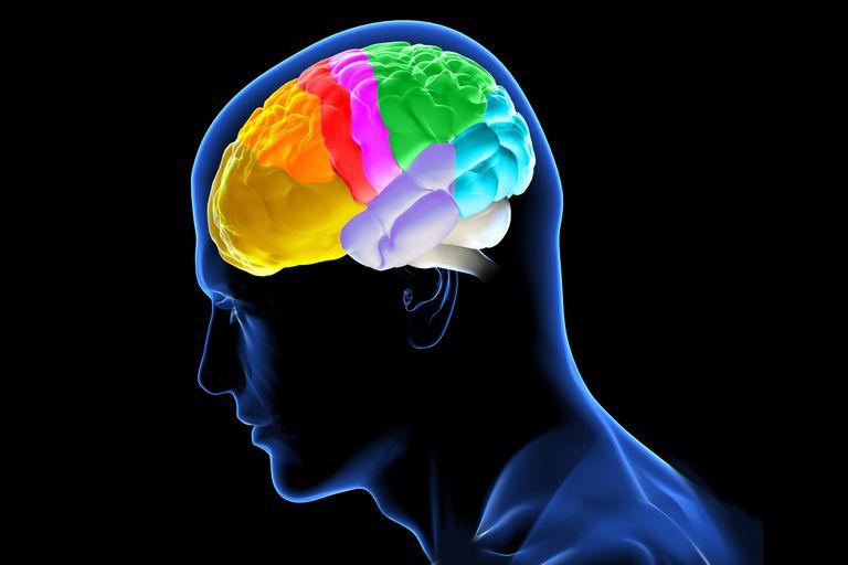 Profile of brain (left side)