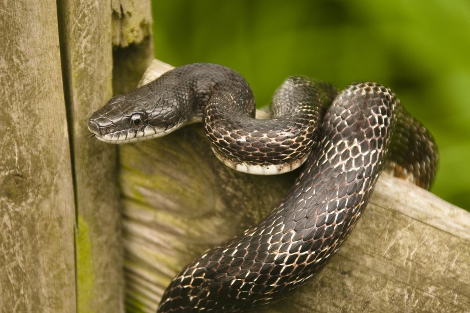Rat Snakes As Pets How To Care For Pet Rat Snakes