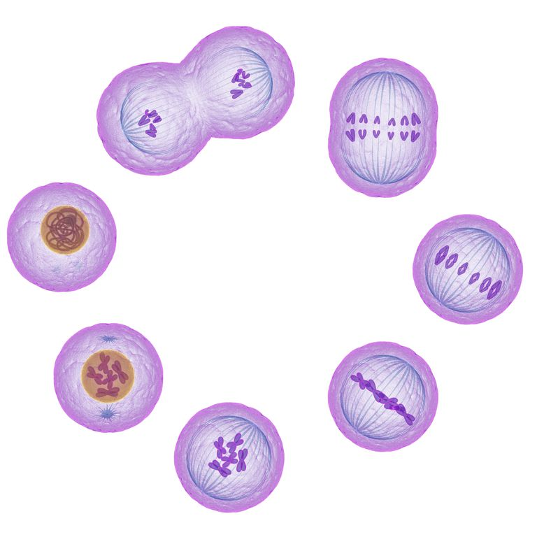stages of cell division