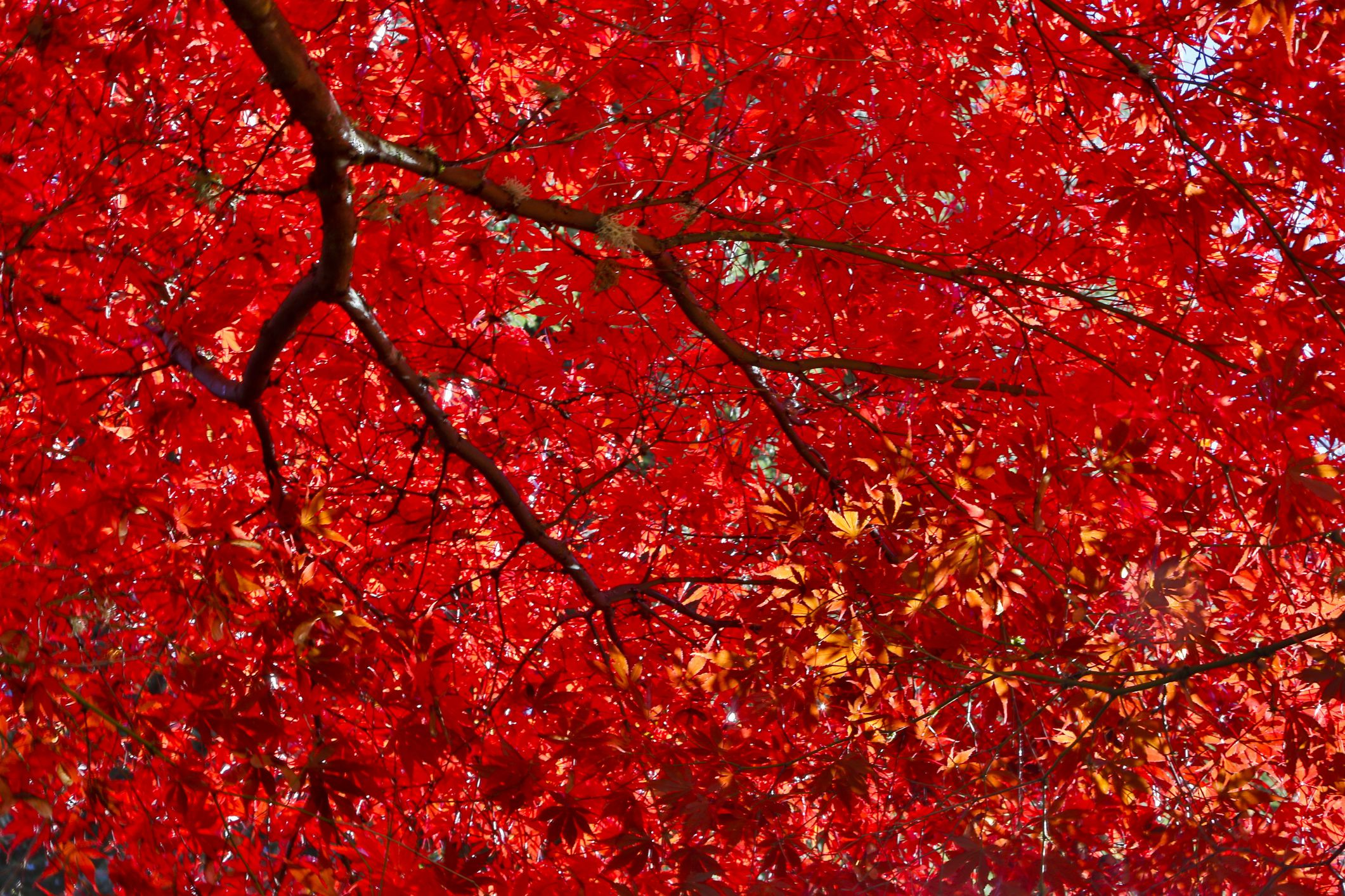 Get to know a variety of maple tree species the best japanese maple trees for fall foliage sciox Choice Image