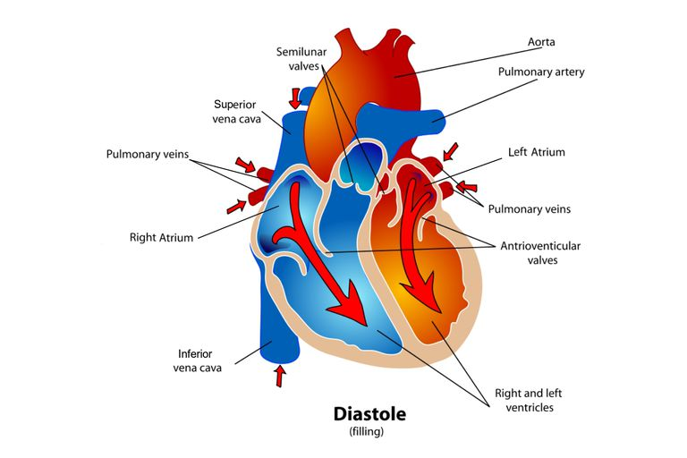 Diagram of the heart during the diastole phase of the cardiac cycle.