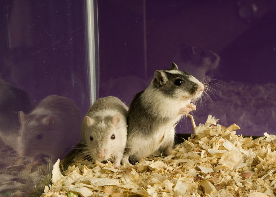 Two Gerbils in aspen bedding