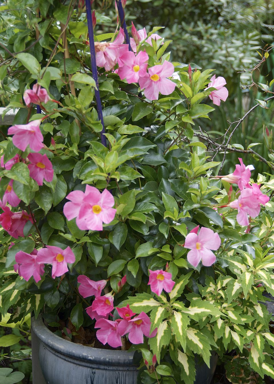 Fabulous flowering vine ideas for your containers mandevilla and dipladenia dhlflorist Images