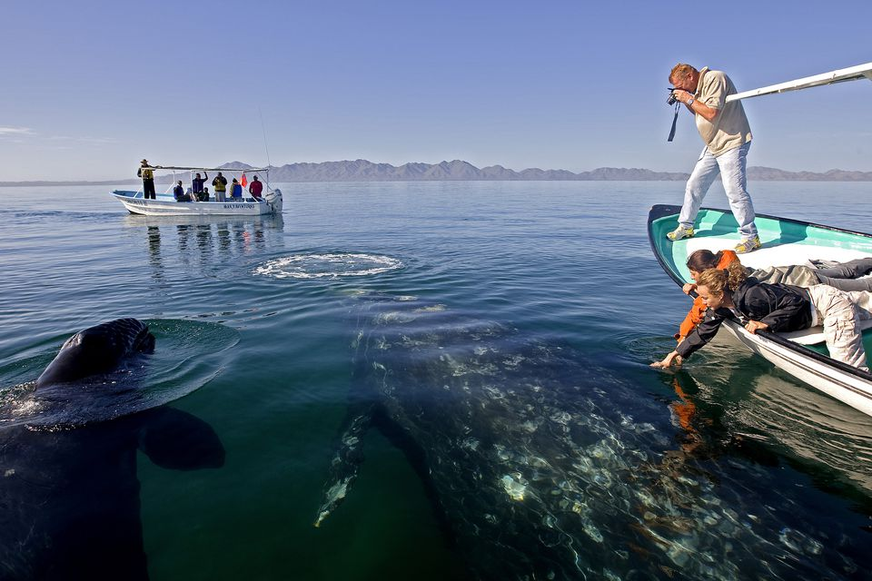Mexico, Baja California State, sea of Cortez, listed as World Heritage by UNESCO, Magdalen bay, gray whale (Eschrichtius robustus) and tourists, whale watching