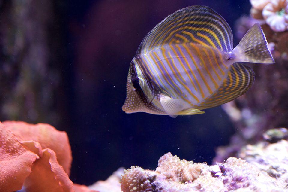 Desjardini Sailfin Tang in Aquarium