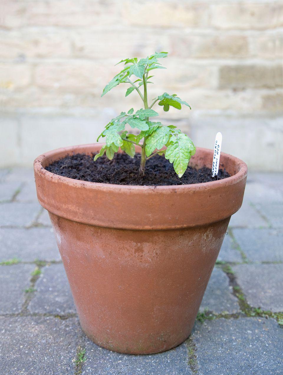 Tomato plant Getty c3df78c17b6f593b2