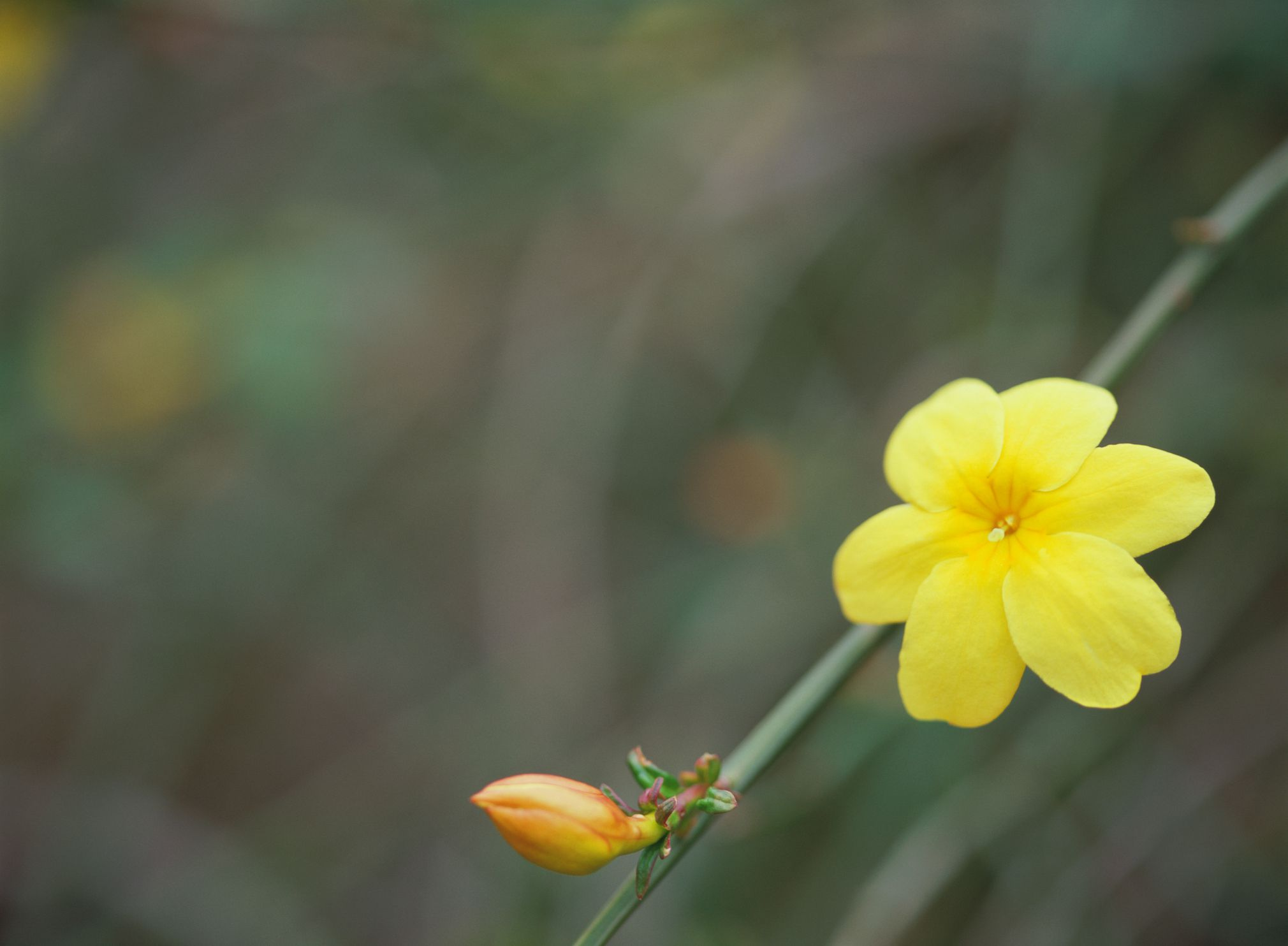 Winter jasmine vines what they are how to grow them izmirmasajfo Image collections