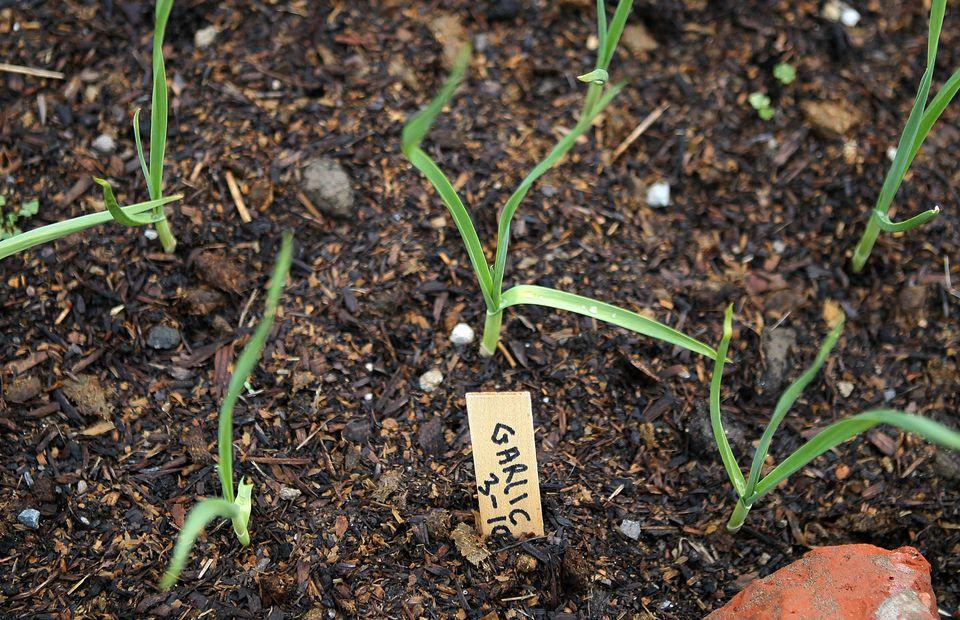 Garlic growing in soil