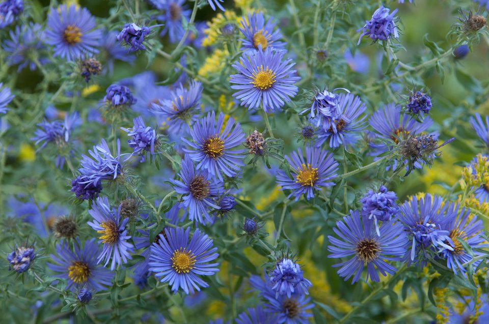 Blue New England aster