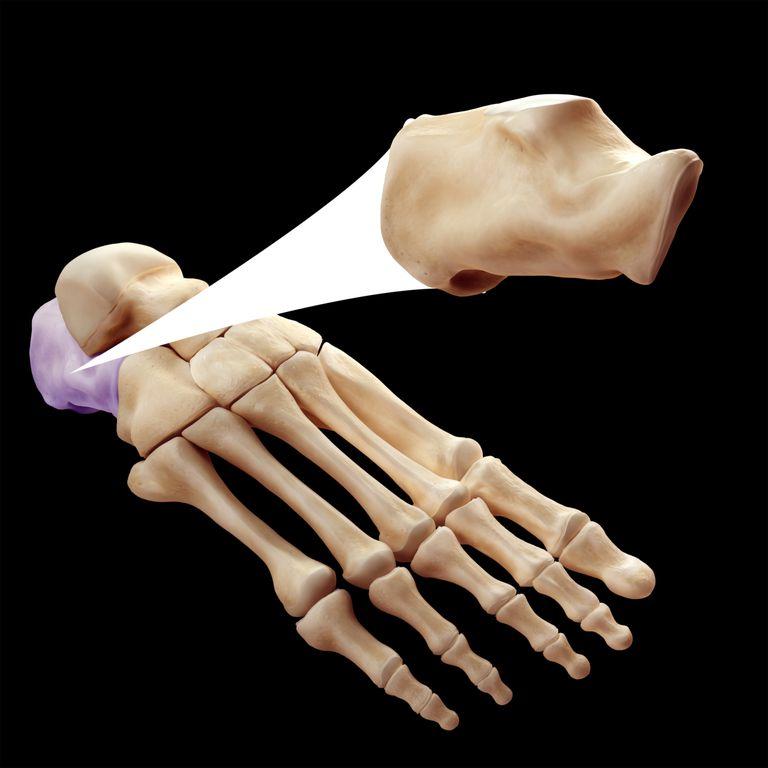calcaneus heel bone
