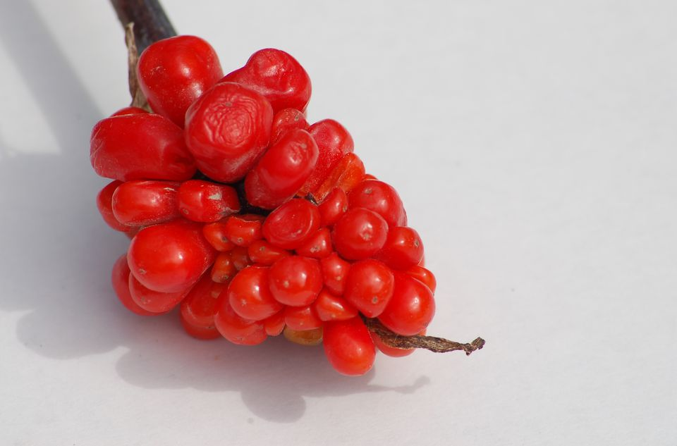 Photo: jack-in-the-pulpit lacks a nice floral display but has berries. These are red.