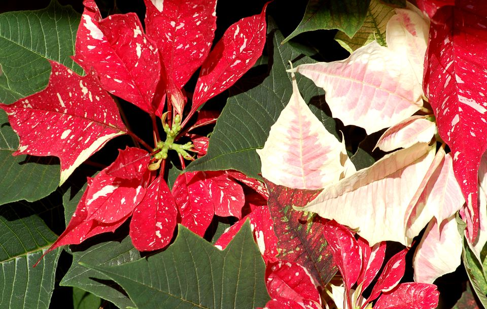 Poinsettias come in a variety of color. Pink and speckled *(image) are examples.