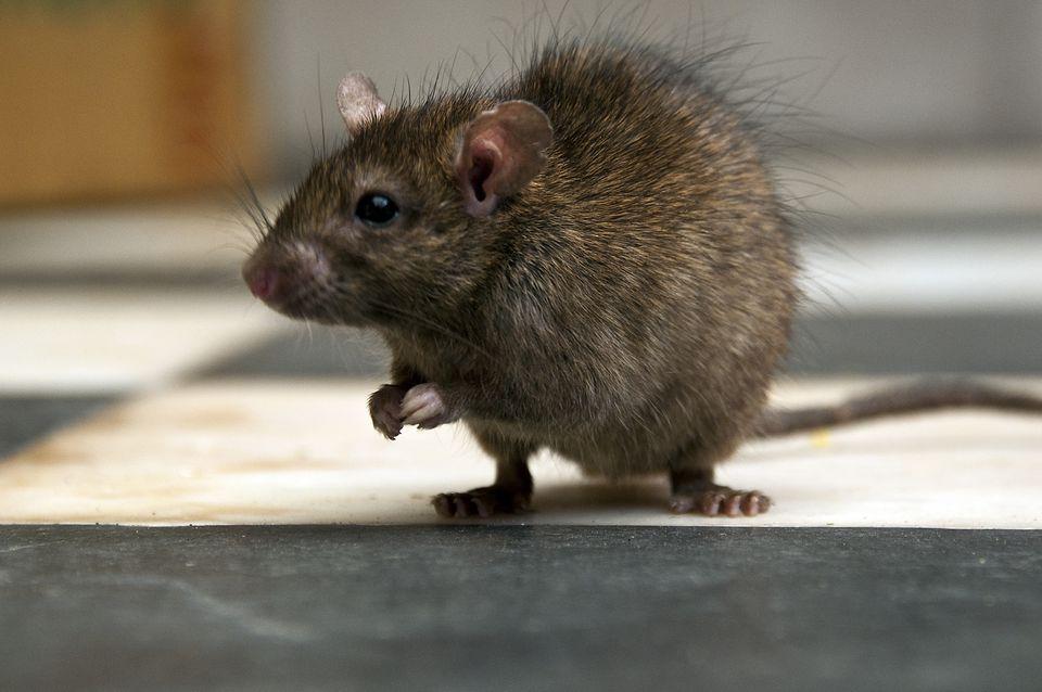 Rat in temple