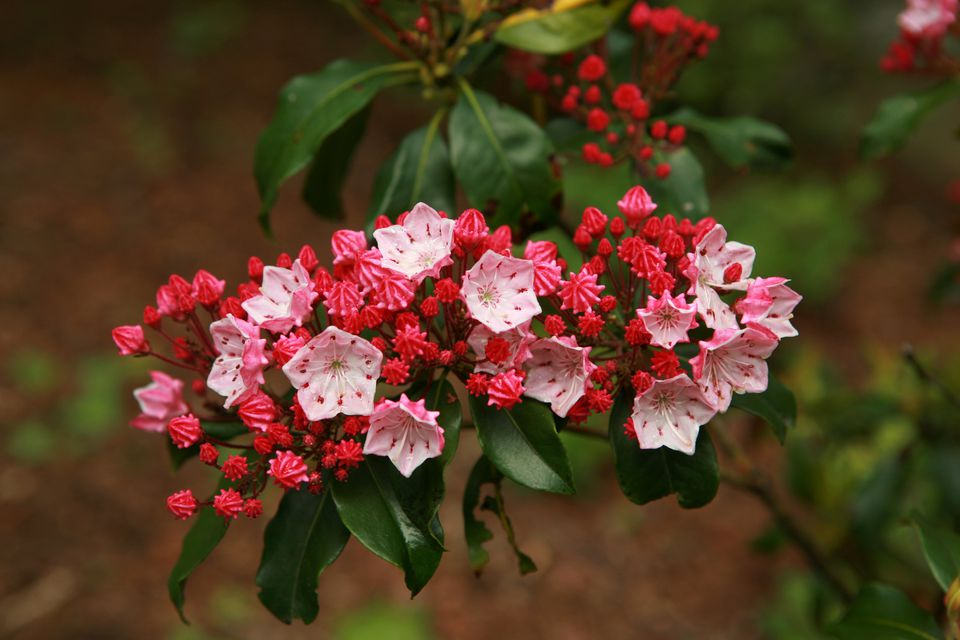 Mountain Laurel Plants in flower.