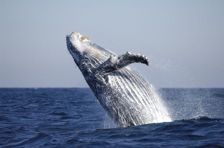 Humpback whale, Megaptera novaeangliae, breaching, during the Sardine run.