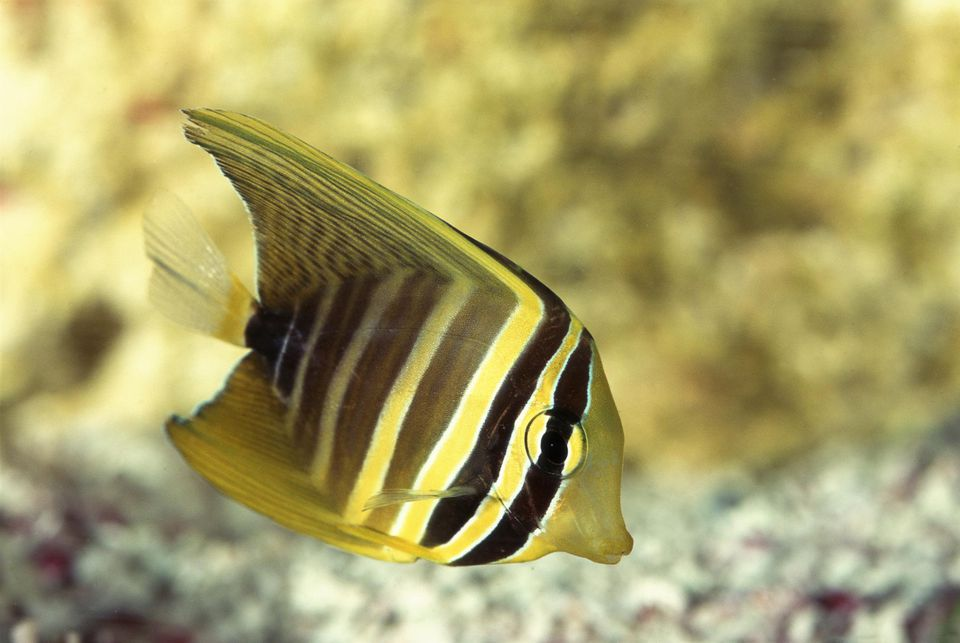 Striped sailfin tang