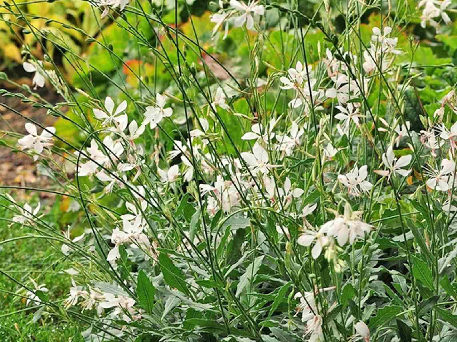 Gaura growing wand flower mightylinksfo