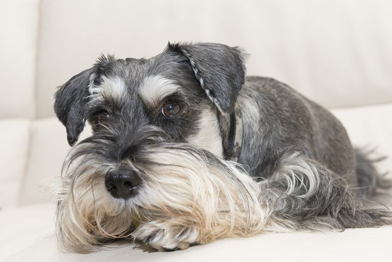 Hypoallergenic Breeds For People With Dog Allergies
