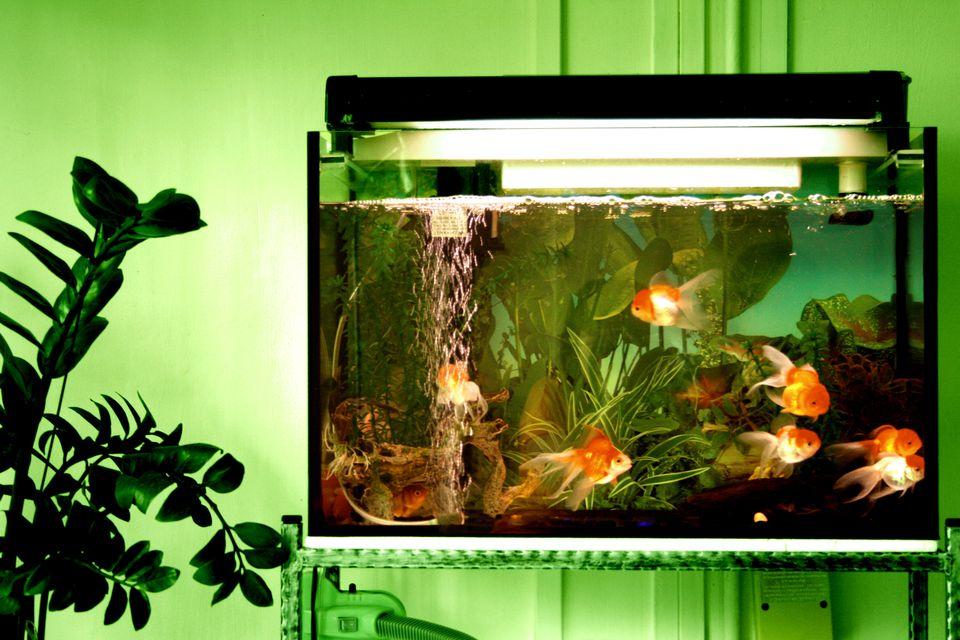 Goldfishies in tank
