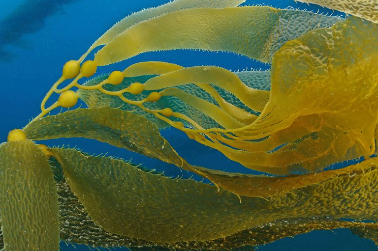 Apical End of Kelp, Macrocystis pyrifera, Santa Cruz Island, California, USA