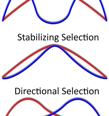 Directional Selection Is One Of Three Types Of Natural Selection