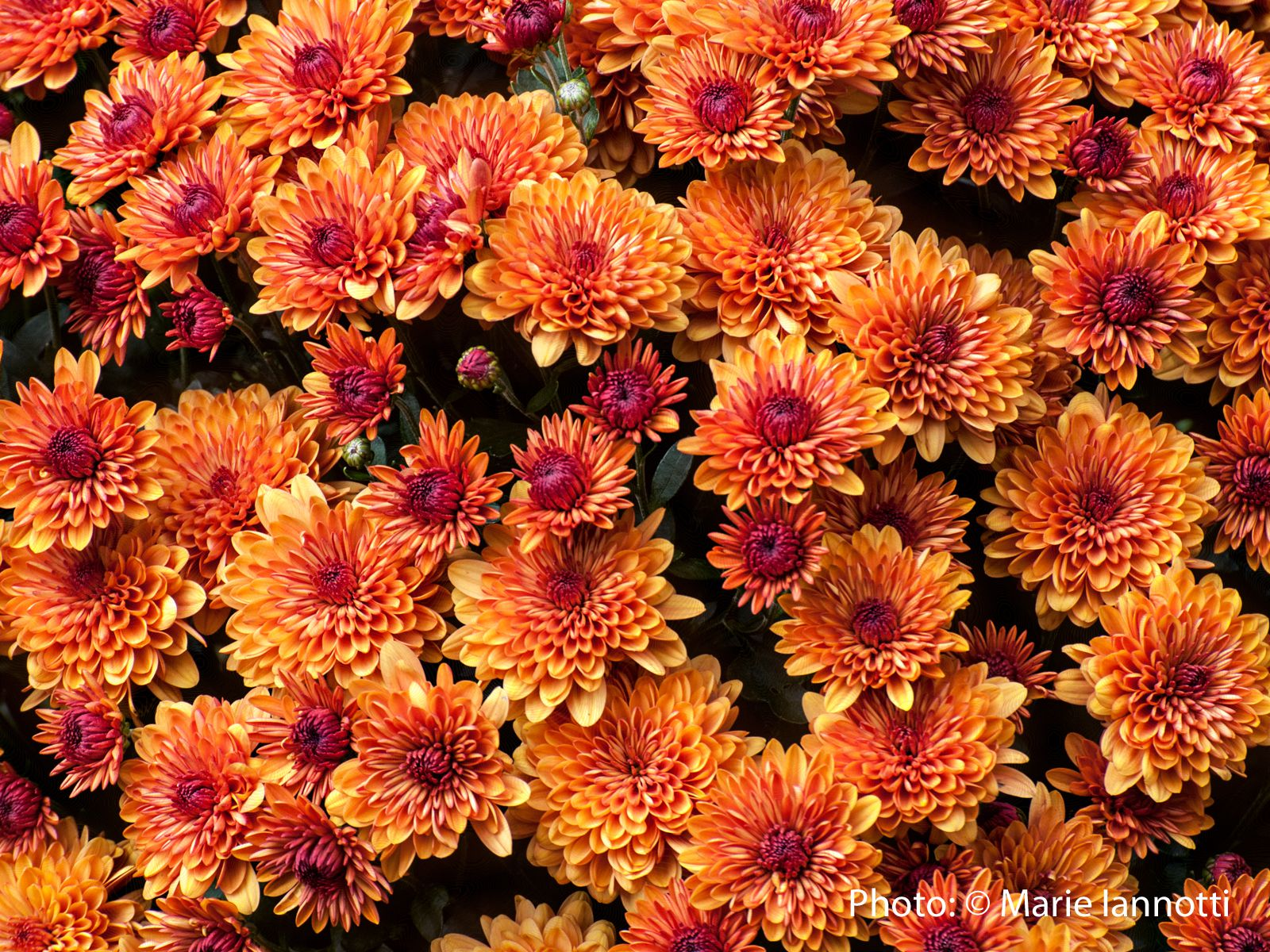 Hardy mums how to over winter mums in the garden for Popular fall flowers