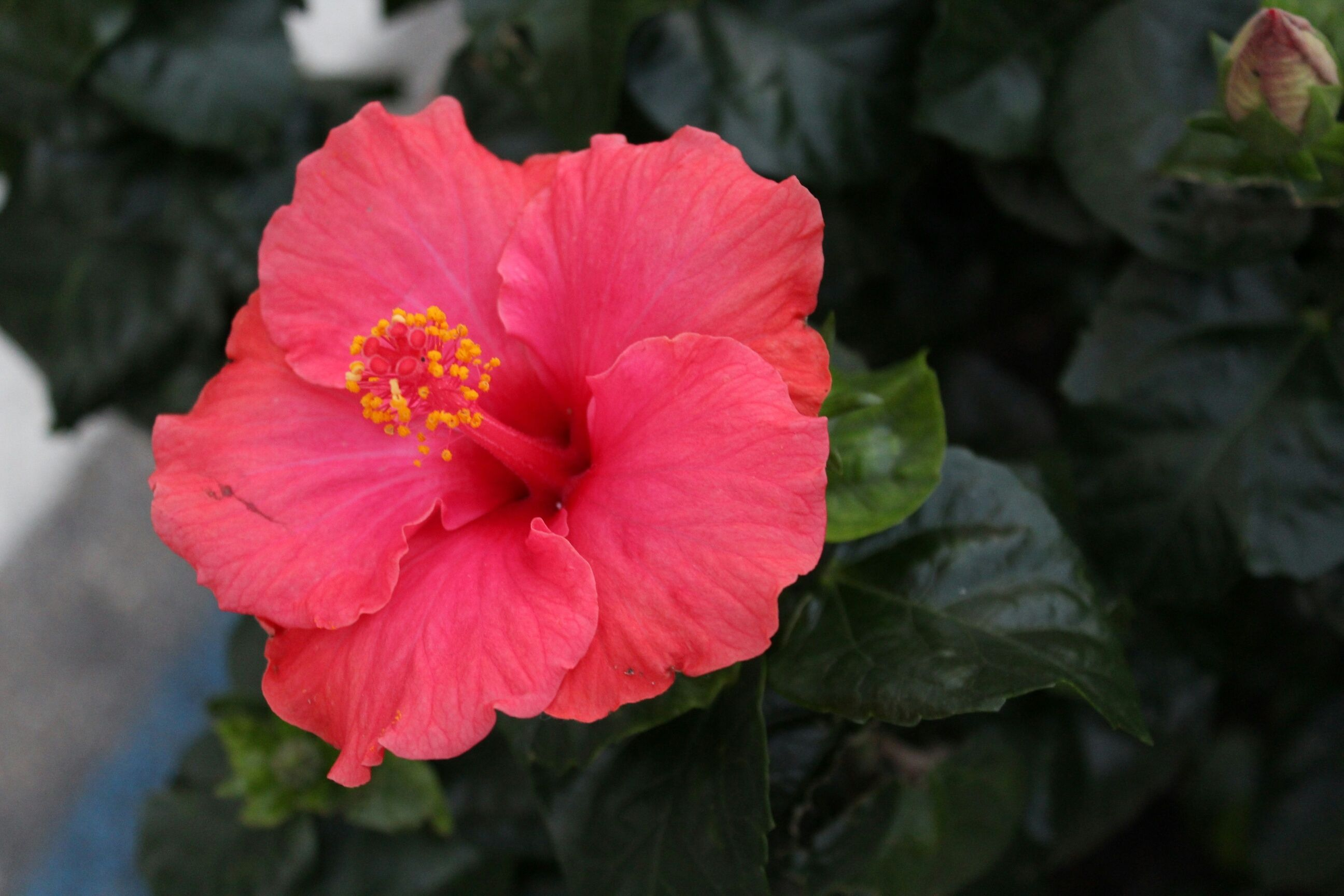 Hibiscusgrowing tropical hibiscus inside izmirmasajfo Image collections