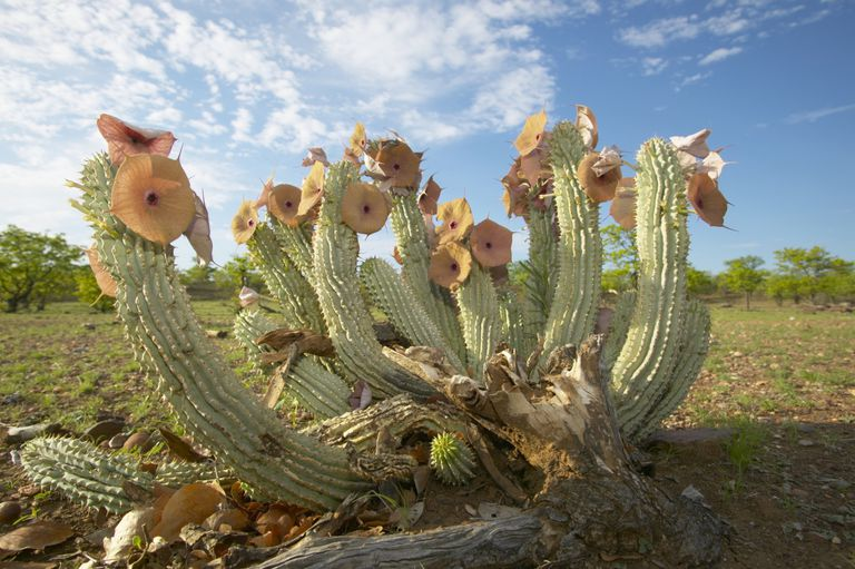hoodia gordonii, diet pills, appetite-suppressant, supplements