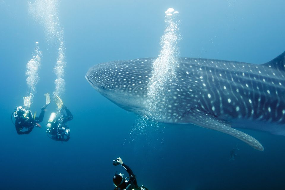 largest whale shark - photo #32