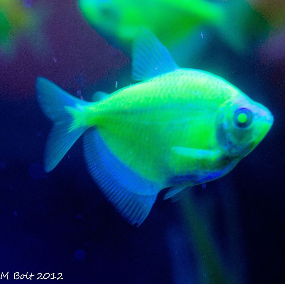 Transgenic Glow In The Dark Fish