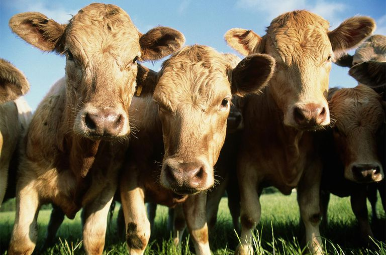 CLOSE-UP OF COWS (ABEREDEEN ANGUS)