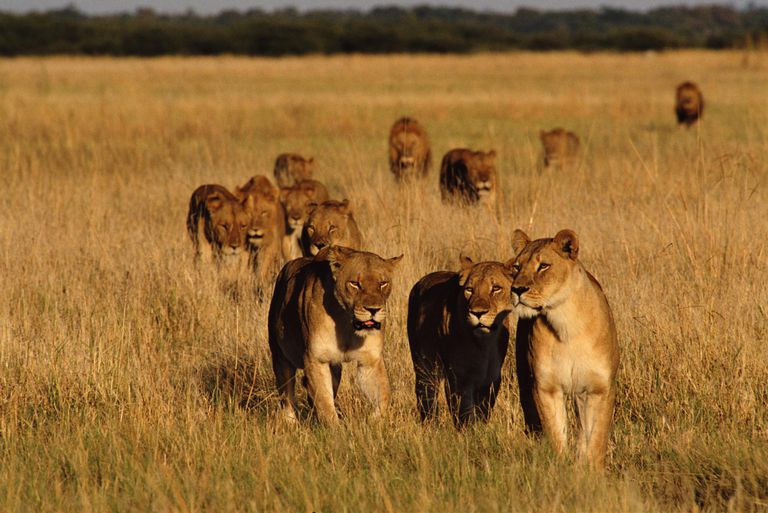Lion pride (Panthera leo) in field