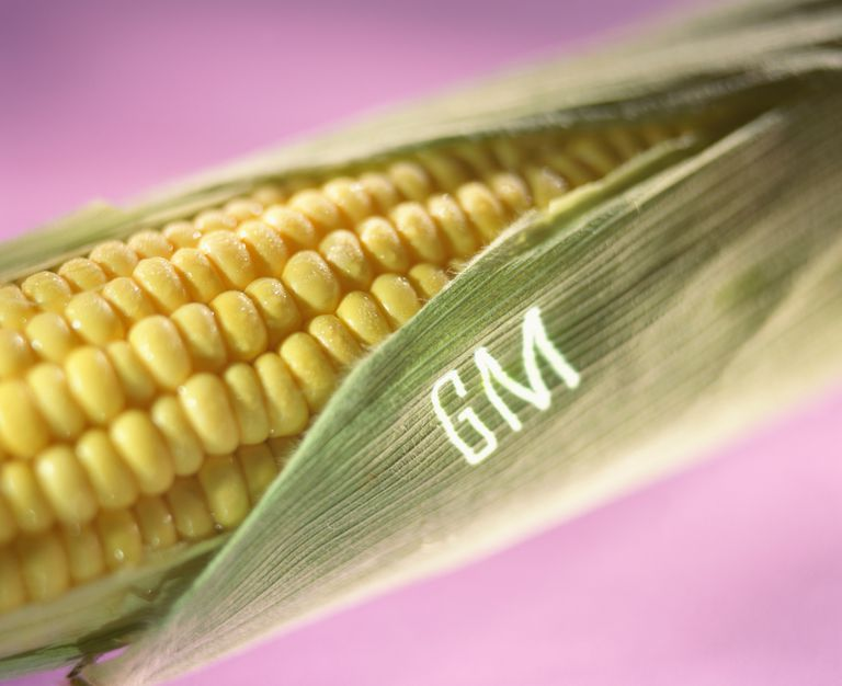 GMO corn is safe to consume.