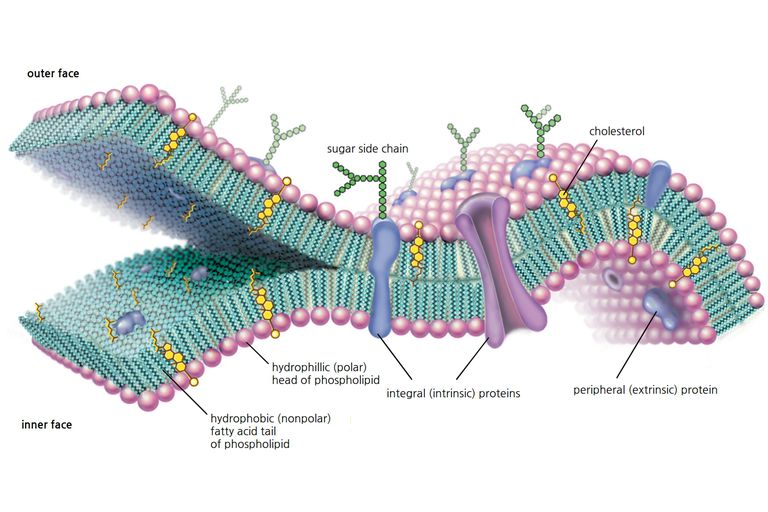 A molecular view of the cell membrane highlighting phospholipids, cholesterol, and intrinsic and extrinsic proteins.