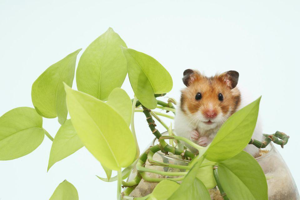Golden hamster (Mesocricetus auratus) in pot with plant, studio shot