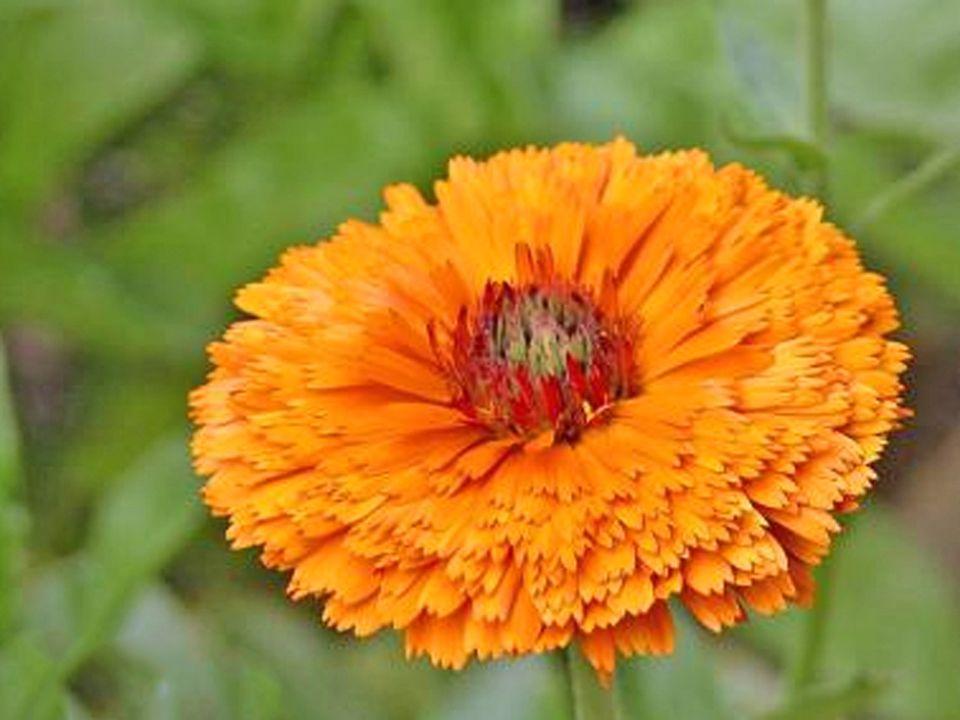 Pot Marigold (Calendula)