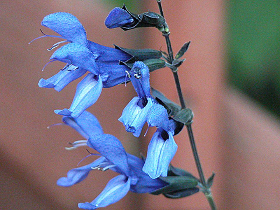 'Black and Blue' Salvia