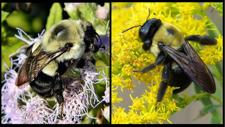 Bumblebee (left); carpenter bee (right)