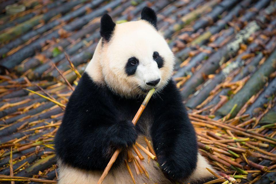 Giant panda eating bamboo in Chengdu panda base ( Sichuan ; China )