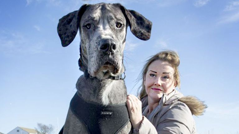 A huge dog next to a woman