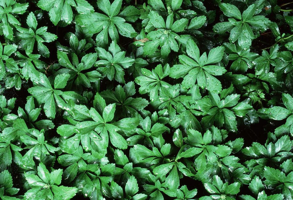Close-up of a pachysandra tree