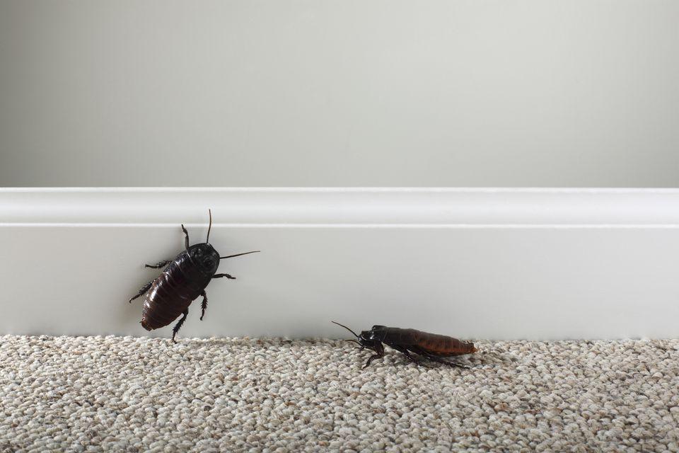 roaches on carpet