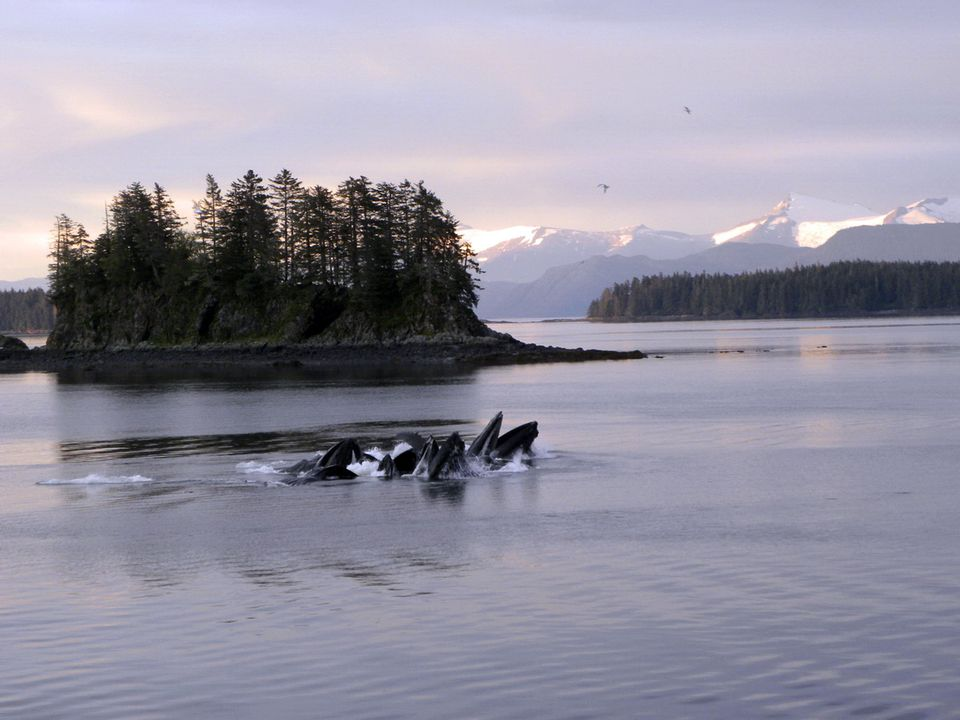 Feeding humpback whales in Alaska