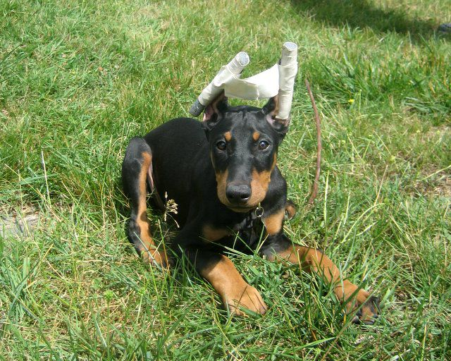 ear cropping surgery in dogs